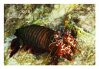 Red Smasher Mantis Shrimp