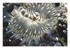 Zebra Anemone with Shrimp