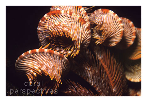 Orange Crinoid Curl